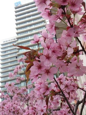 BR-Sakura.jpg