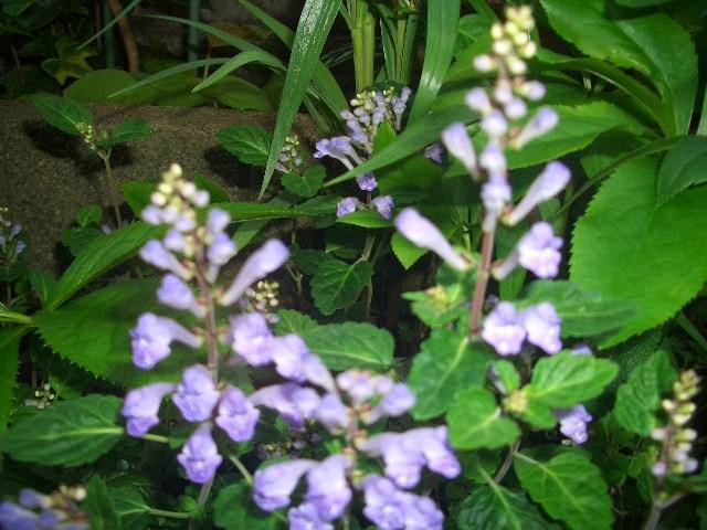 タツナミ草