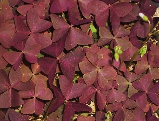 紫クローバー.J