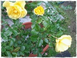 4-30薔薇フリージア