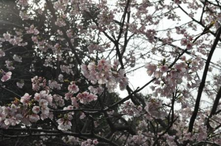 爪木崎ー桜