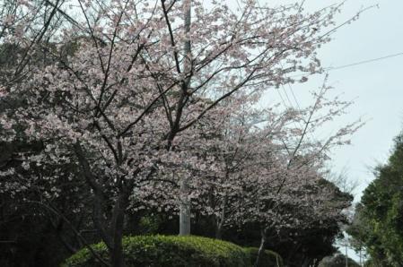 爪木崎ー桜の木