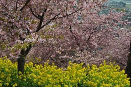 まつだー桜と菜の花