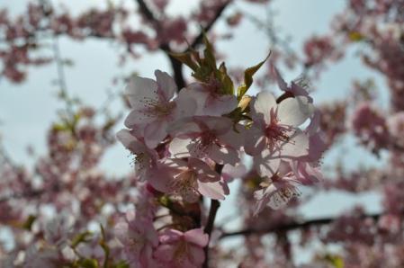 まつだー桜アップ2