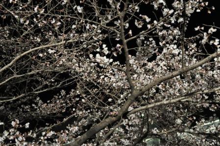 創大ー夜桜1