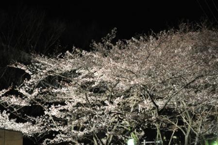 創大ー夜桜2