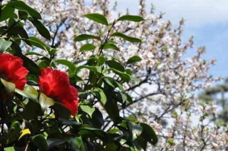 氷室椿庭園ー椿と桜