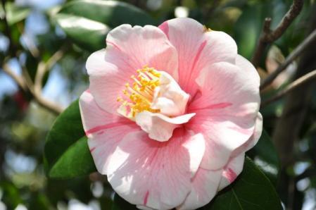 氷室椿庭園ー白ピンク