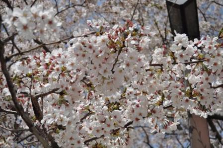 中央公園ー桜4