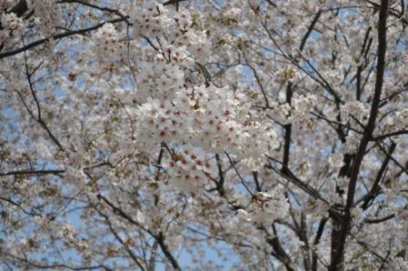 中央公園ー桜3