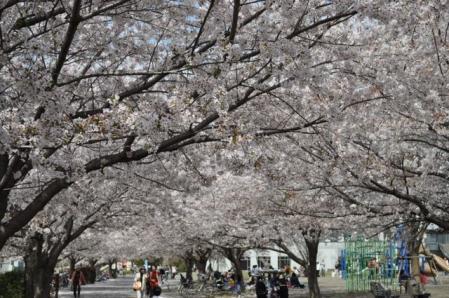 中央公園ー桜2