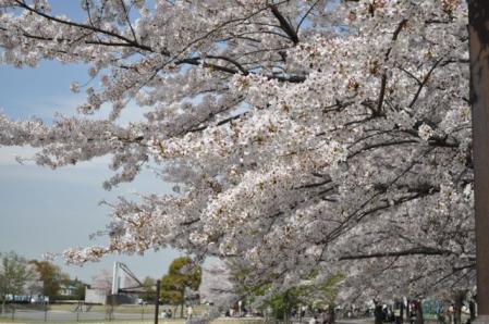 中央公園ー桜1