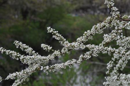 大和ー白花