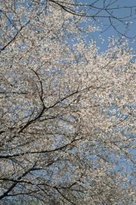 三ノ塔ー豆桜?