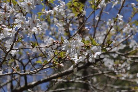 三ノ塔ー山桜(アップ)