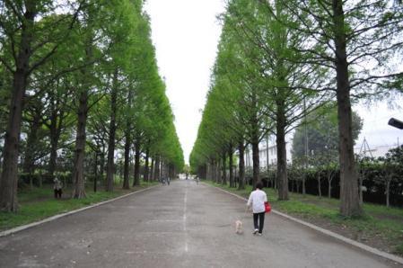 GW-平塚総合公園(並木道)