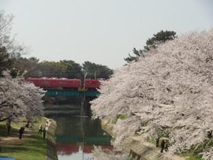 岡崎公園の桜4