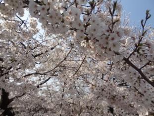 岡崎公園の桜2