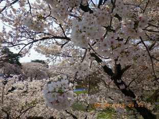 岡崎公園の桜3
