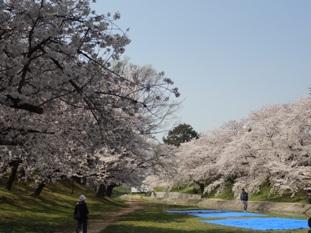 岡崎公園の桜1