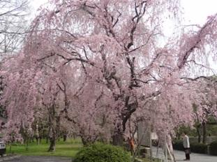 二条城の桜3