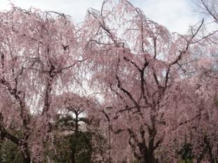 二条城の桜4