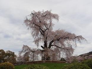 円山公園のしだれ桜1