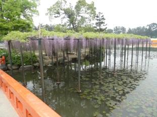 天王川公園の藤1