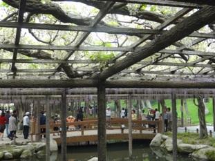 天王川公園の藤3