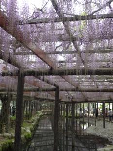天王川公園の藤4