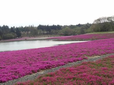 富士芝桜1