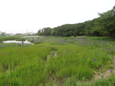 小堤西池のカキツバタ群落1