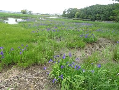 小堤西池のカキツバタ群落2