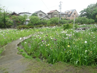 知立神社の花しょうぶ3