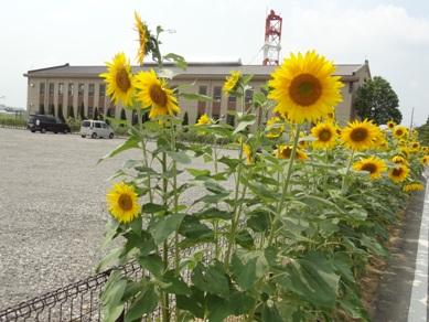 依佐美送信所記念館に咲いているヒマワリ