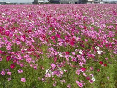 三重県 菰野町 下村地区のコスモス畑 1