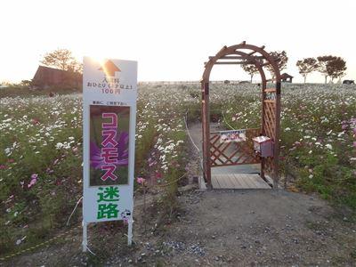 愛知牧場のコスモス2