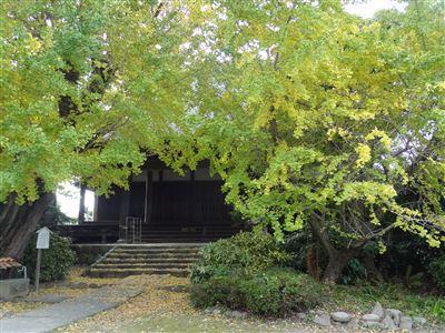 祖父江町の銀杏10