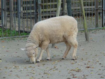 岡崎市東動物園 羊