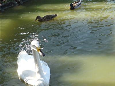 岡崎市東公園 白鳥
