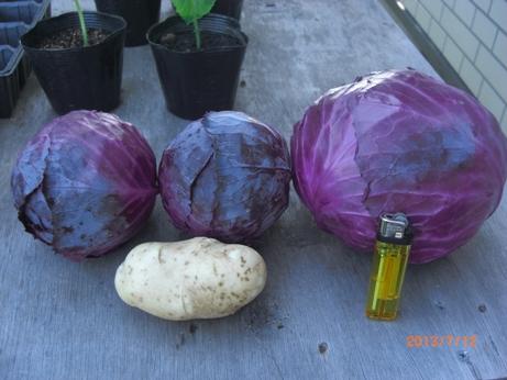 紫キャベツ収穫