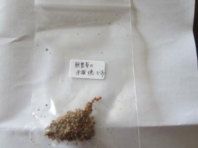 オマケの赤粟穂
