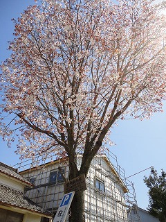 tyusyajyou-sakura1.jpg