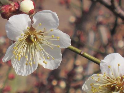 IMG_0363 ⑩ 白梅も開花