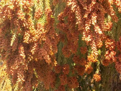 IMG_0461 ⑩ たっぷり杉花粉