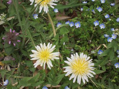 IMG_0558 ⑩ 白花タンポポとイヌノフグリ