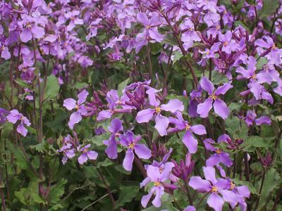 IMG_0563 ⑩ 花大根の花