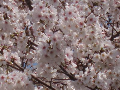 IMG_0580 ⑩ いっぱいの桜
