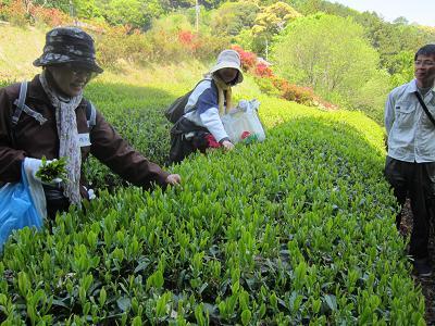 IMG_0745 ⑩ お茶摘み体験
