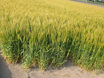 IMG_0911 ⑩ 麦の色づき近し
